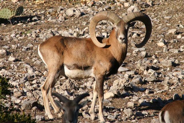 Iranian red sheep - photo#5